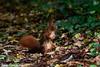Jean-Luc Wolf_2017-10-22_12-22-46 (Jean-Luc Wolf) Tags: ecureuil mammiferes parcdesceaux parcdesceaux22102017 sceaux antony îledefrance france fr
