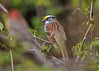 5876 White-throated Sparrow (vtbirdhouses) Tags: whitethroatedsparrow