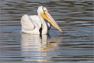 American White Pelican 9591