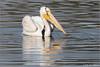 American White Pelican 9591 (maguire33@verizon.net) Tags: americanwhitepelican bolsachica bolsachicaecologicalreserve pelecanuserythrorhynchos whitepelican bird pelican wetlands wildlife