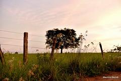 São Carlos (Mauricio Berndt) Tags: sãocarlos interiordesãopaulo interior sãopaulo plantação agricultura pôrdosol distritodesãoroque