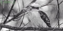 main course (honourable mention, monochrome awards 2017) (Fat Burns ☮ (on/off)) Tags: laughingkookaburra dacelonovaeguineae australianicon bird australianbird fauna australianfauna nikond750 nature kookaburra sigma150600mmf563dgoshsmsports oxleycreekcommon