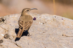Scale-throated Earthcreeper (JohnReynolds2012) Tags: 2018 birds chile animals wildlife vancouver bird farellones regiónmetropolitana cl
