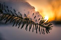 Sunset Snowy Pine (Nicholas Erwin) Tags: sunset snow pine tree winter cold nature naturephotography contrast colorful nikon d610 nikkor 2018g waterbury vermont vt unitedstatesofamerica usa fav10 fav25 fav50