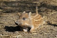 Marcassin (Passion Animaux & Photos) Tags: marcassin wild boar cub sus scrofa parc animalier saintecroix france