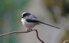 CODIBUGNOLO DSC07133 (massimocenedese) Tags: codibugnolo birds uccelli natura sony a6500