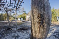 Madagascar Ground Gecko (Daniel Trim) Tags: madagascar ground gecko lizard belo sur mer wide angle paroedura pictus nature photography animals