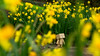 Strolling By the Daffodils (Arielle.Nadel) Tags: danbo danboard revoltech spring daffodils flowers yotsuba