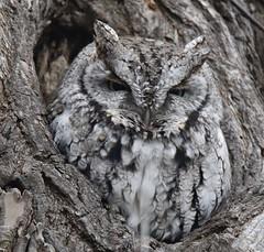 Eastern Screech Owl, Burlington. (Gillian Floyd Photography) Tags: eastern screech owl burlington grey