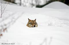 Lupo _015 (Rolando CRINITI) Tags: lupo mammiferi canislupus bayerischerwaldnationalpark germania natura neve