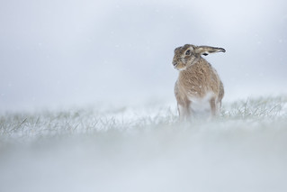Brown Hare in Snow