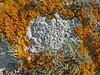 Ochrolechia parella with Xanthoria (Philip_Goddard) Tags: ochrolechiaparella ochrolechia lichens crawfishlichen crabseyelichen lightcrottle saxicolous crustose fertile nature naturalhistory southwestengland england unitedkingdom britain british britishisles greatbritain uk europe