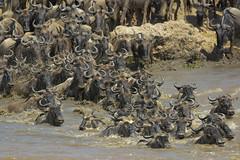 Crossing nel Mara (FabioVegetti) Tags: safari crossing africa masaimara gnu kenya