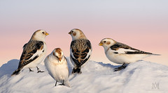 snow buntings (marianna_a.) Tags: p1800335 snowbuntings tiny white birds flock group migration mirabel quebec canada winter snow sunset fauna mariannaarmata