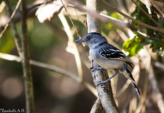 Thamnophilus pelzelni (azambolli) Tags: choca antshrike brasil animal ave bird nature natureza