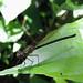 Belmopan - Unidentified Damsel