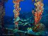 bvi 17 P8312405 (Pauline Walsh Jacobson) Tags: underwater scuba dive diving bvi water coral reef ocean sea marine life wideangle schooling fish animal