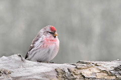 Redpoll (HB175168_1200_A2_f) (Horst Beutler) Tags: commonredpoll redpoll birkenzeisig carduelisflammea acanthisflammea carduelis acanthis fringillidae bird songbird wildlife pentax k5iis sigmaapotelemacro300mmf40 sigmaapotc14xexdg copyrighthorstbeutlerphotography
