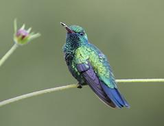 Blue chinned sapphire (richard.mcmanus.) Tags: bluechinnedsapphire trinidad bird hummingbird colibri animal wildlife mcmanus westindies caribbean tropics rainforest