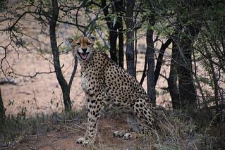 Guépard/Cheetah south Africa_3932