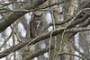 Great Horned Owl (Gregory Lis) Tags: greathornedowl bubovirginianus gorylis gregorylis grzegorzlis britishcolumbia nikond810 nikon owl