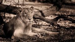 Asiatic Lioness (careless25) Tags: lion lioness gujarat sasangir gir wildlife wild forest animal