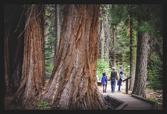 Peaceful Walk (cmgaonkar) Tags: sequoia sequoianationalpark nps nationalparkservice nationalpark california californiaparks largesttrees trees green photography landscapes people beautifulworld nature nationalparktraveller travelphotography natgeotravel peoplephotography canon canonindia