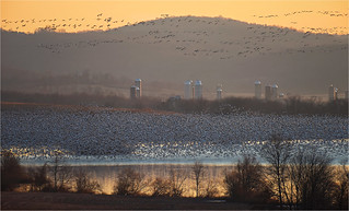 Snow Geese Migration 2018