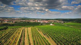 Vineyard near the Velké Pavlovice / Vinice nedaleko Velkých Pavlovic