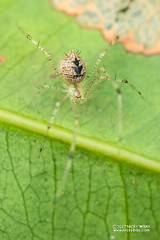 Comb-footed spider (Chrysso sp.) - DSC_2300 (nickybay) Tags: singapore macro admiraltypark chrysso combfooted spider theridiidae