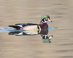 On  Golden Pond (pandatub) Tags: bird birds duck woodduck elkgrove