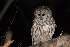 Barred Owl (Kern.Freesland) Tags: barred owl animals wildlife nature birds night