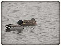A dull colourless winters day on the lake. (Sharon B Mott) Tags: ducks mallards birds wildlife britishwildlife nature lake winter february thryberghcountrypark
