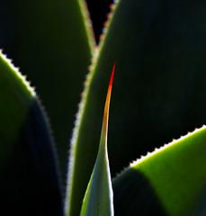 18A_8363-Edit (Mark Ritter) Tags: succulent cactus macro closeupplant garden