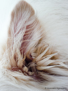@ringowhitedog #perro #dog #oreja #ear #pelo #hair #2016 #maro #málaga #andalucía #españa #spain #animal #whiteshepherd #pet #petsgram #love #arena #sand #naturaleza #nature #macro #photography #photographer #picoftheday #manuelaaguadero   📷:@manue