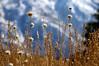 Nature's golden threads (Raquel Borrrero) Tags: plantkingdom plantas plant dorada golden mountain montaña paisaje naturephotography naturaleza nikon d3200 hierba campo sierranevada granada andalucía spain españa