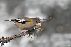 ''Brillance!!'' Gros-bec errant-Evening grosbeak (pascaleforest) Tags: oiseau bird animal passion nikon nature wild wildlife faune winter hiver québec canada bokeh
