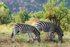 It's not about watching wildlife, it's about experiencing it!! (Bipul Matta) Tags: colours intothewild wanderlust wanderer traveldiaries travel nature wildlifephotography wildlifesafari safari upclose southafrica pilanesberg blackandwhite nationalpark animals wildlife wild stripes zebra