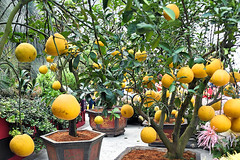 Fruit Trees (chooyutshing) Tags: fruittrees display chinesenewyear2018 lunarnewyear festivalflowerdome gardensbythebay baysouth marinabay singapore