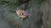 Goldcrest of the day (1/3) : during a cold day of winter (Franck Zumella) Tags: bird small oiseau petit smallest goldcrest roitelet huppe huppé kinglet animal nature tree arbre wildlife green yellow sauvage vie vert jaune