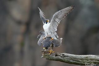 peregrine falcons breeding
