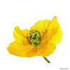 Sunny Yellow (paulinecurrey) Tags: yellow sunnyyellow smileonsaturday closeup petals stamen highkey beautiful pretty delicate detail floral flora