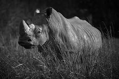 black and white beauty (rondoudou87) Tags: rhinoceros rhinocéros pentax k1 nature natur black blanc blackwhite white noiretblanc noir monochrome wildlife sauvage smcpda300mmf40edifsdm shadow ombre light lumière parc park zoo reynou parcdureynou