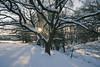 Sunlight through the trees (Keartona) Tags: snow tree oak sun sunlight snowy day landscape countryside evening winter february beautiful beauty