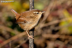 Eurasian Wren, Troglodytes troglodytes (Nigel Blake, 16 MILLION views! Many thanks!) Tags: eurasianwren troglodytestroglodytes eurasian wren troglodytes birdphotography bird nature wildlife ornithology small tiny nigel nigelblake nigelblakephotography naturalhistory