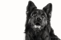 Aras (Eagen) of Fayzah's Farm-8 (Jaco Verheul) Tags: d7100 jaco nikon studio verheul altdeutscheschäferhund blackandwhite chien dog germanshepherd grau gris gsd highkey hond hund monochrome noir oudduitseherder zwartwit oudbeijerland zuidholland nederland nl