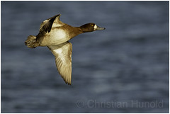 greater scaup (Christian Hunold) Tags: greaterscaup divingduck duck bird bergente barnegatlight christianhunold