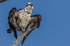 Dangerous fluffiness (bodro) Tags: bolsachica bird birdphotography bluesky branch deadtree ecologicalreserve fluffymess halfopened openwings osprey perch raptor shallows stretch wetlands