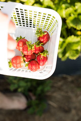Strawberry Fields (Szhlopp) Tags: strawberry fields outside outdoors red dof bokeh fruit picking basket white green 7dwf contrast sunlight home nature art light food