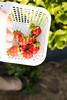 Strawberry Fields (Szhlopp) Tags: strawberry fields outside outdoors red dof bokeh fruit picking basket white green 7dwf contrast sunlight home nature art light food